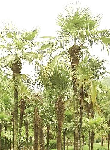654pxtrachycarpusfortunei_2